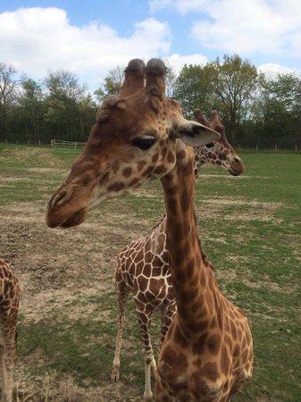 Parc Zoologique Cerza : Girafe qui vient se nourrir