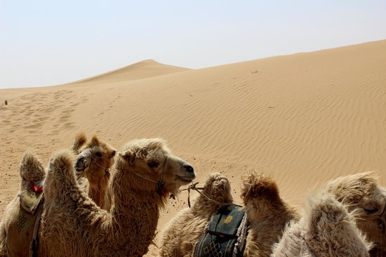 Anda Guesthouse : camels!