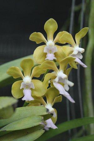 Phuket Orchid Farm : Orchid