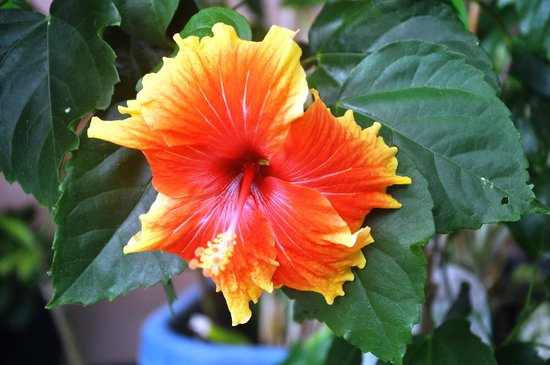 Kookas Bed & Breakfast: Hibiscus in our Garden