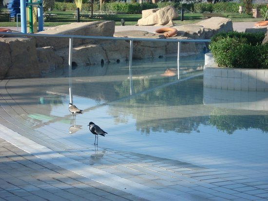 Maritim Jolie Ville Kings Island Luxor : Bird getting some water in early morning pool