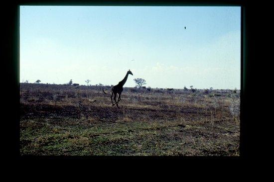 Seronera : giraffa