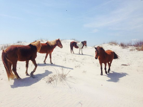 Assateague Island National Seashore: beautiful horses