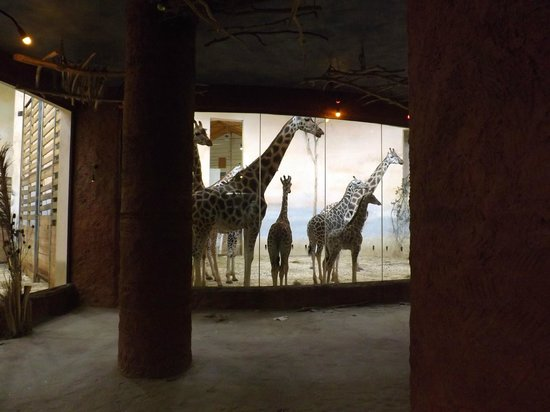 Prague Zoo : Giraffes