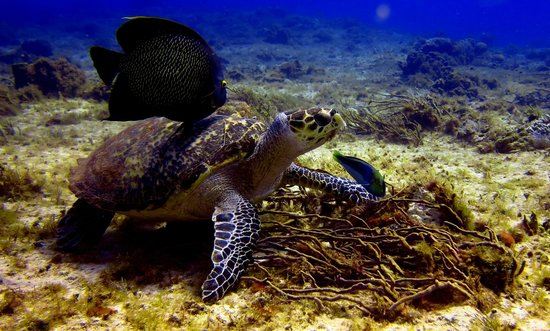 El Pulpo Divers: Turtles
