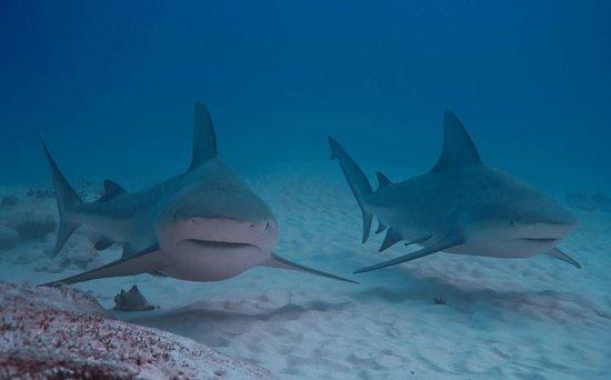 Bull Sharks In Playa Del Carmen Picture Of Blue H2o Cozumel Ocean Tours Tripadvisor