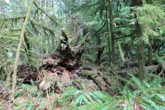 Cathedral Grove: Douglas Fir giants