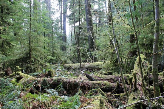 Cathedral Grove: Giant Douglas Firs