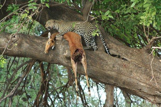 Shaba National Reserve : Leopardo hembra subiendo su presa al árbol