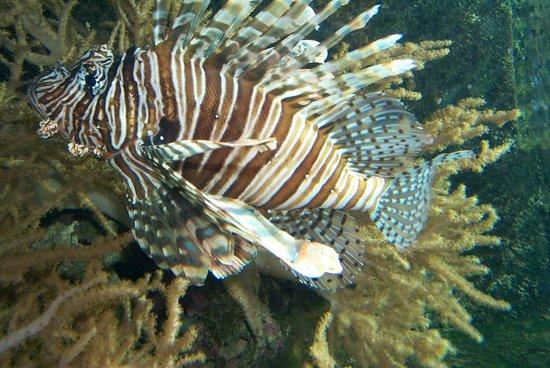 Pittsburgh Zoo & PPG Aquarium: Lionfish