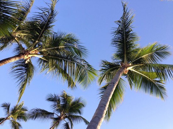Majestic Colonial Punta Cana : Shady-providing palms on the beach