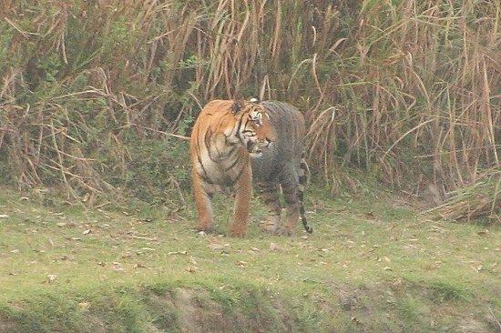Wild Grass Lodge: Tiger