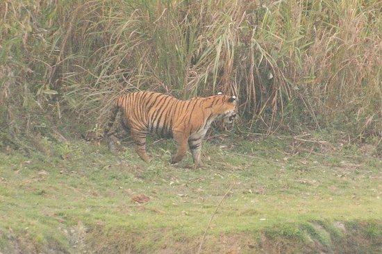 Wild Grass Lodge : Tiger