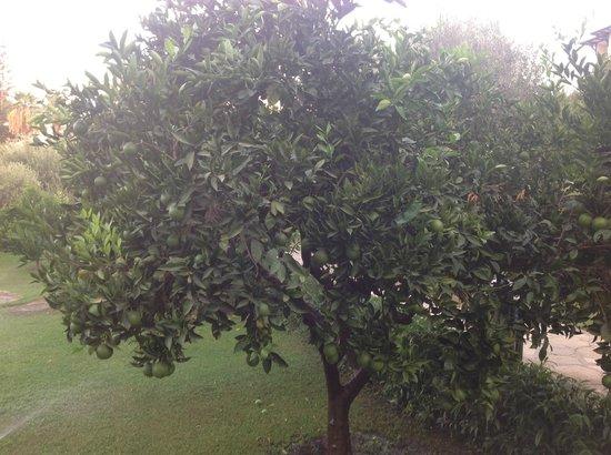 Barut Hemera: Деревья апельсиновые