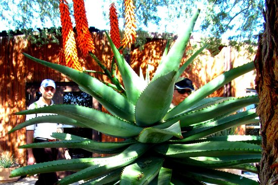 Museo del Desierto Arizona-Sonora: Aloe Plant