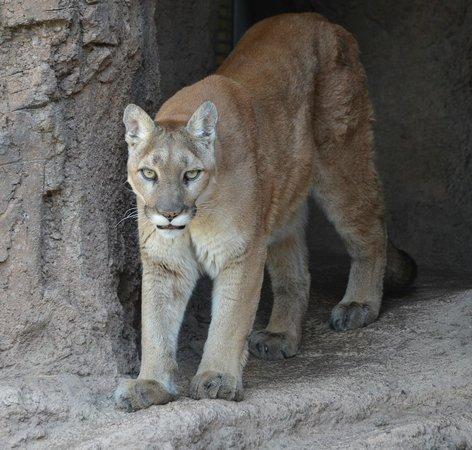 Arizona-Sonora Desert Museum : Mountain Lion - Mountain Habitat