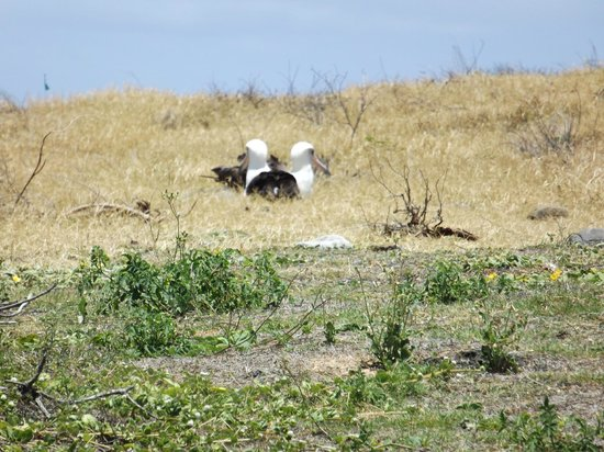 Ka'ena Point State Park: Albatross nesting