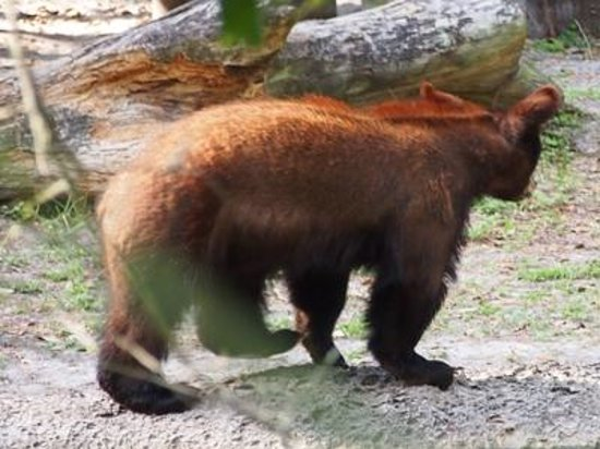 ZooTampa at Lowry Park: young bear pacing
