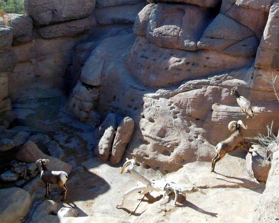 Arizona-Sonora Desert Museum : desert big horn sheep