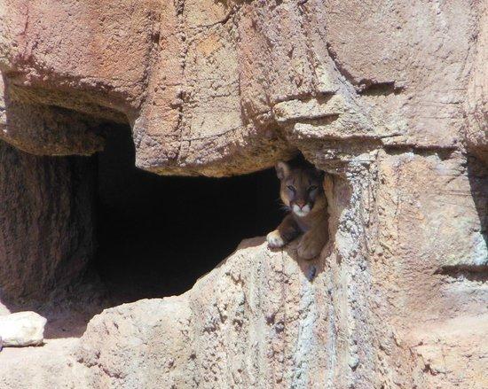 Arizona-Sonora Desert Museum : Cruz the mountain lion