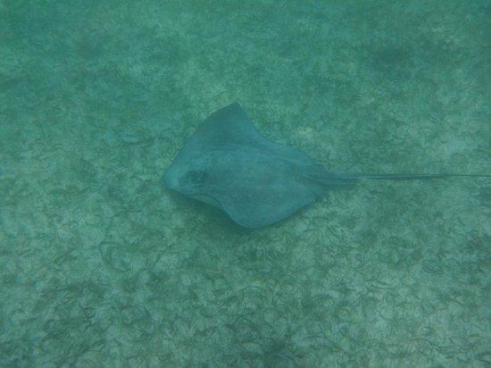 Riviera Adventours: sting ray at turtle beach