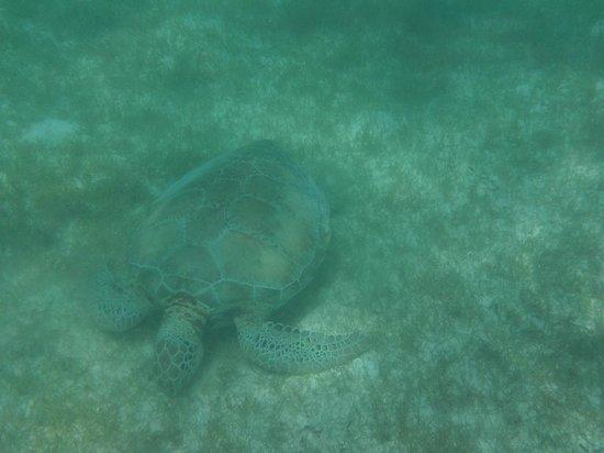 Riviera Adventours: one of many turtles we saw at Akumal