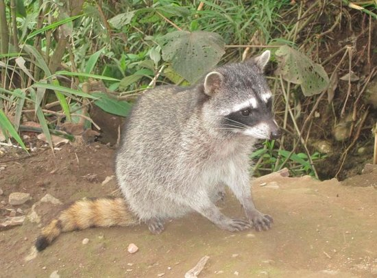 La Paz Waterfall Gardens: Young raccoon was with his mother and two siblings.