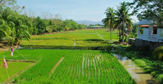 Rice Museum : Rice paddies