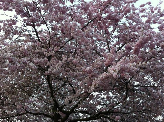 Vondelpark: Blossom