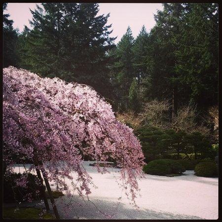Portland Japanese Garden: Cherry blossoms