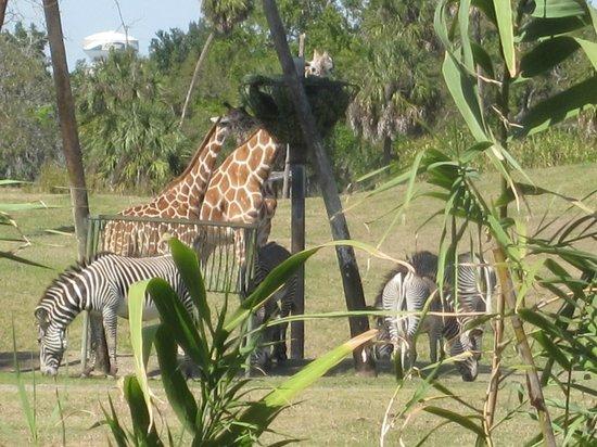 Busch Gardens : Giraffes dining with zebra friends.