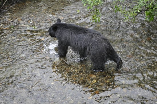 Mendenhall Glacier Visitor Center : Fishing bear