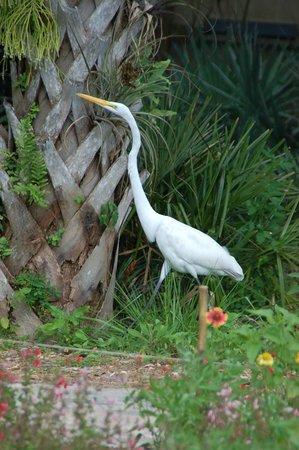 Naples Botanical Garden : Egret searching palm tree for geckos