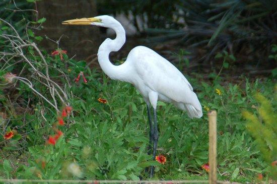 Naples Botanical Garden : Egret w gecko