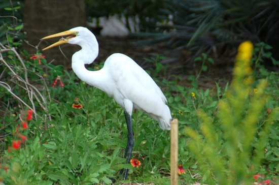 Naples Botanical Garden: Egret with gecko in beak