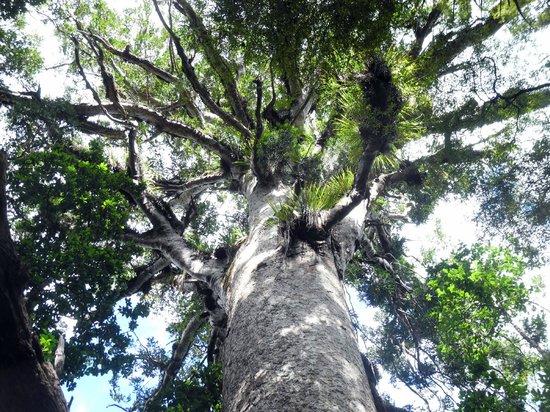 Waipoua Lodge : 4000 year old tree