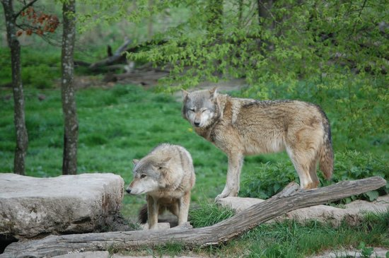 Parc Animalier de Sainte-Croix : les loups gris .