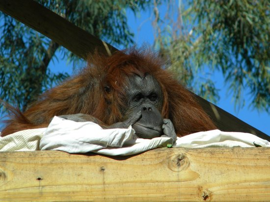 Phoenix Zoo : gorilla