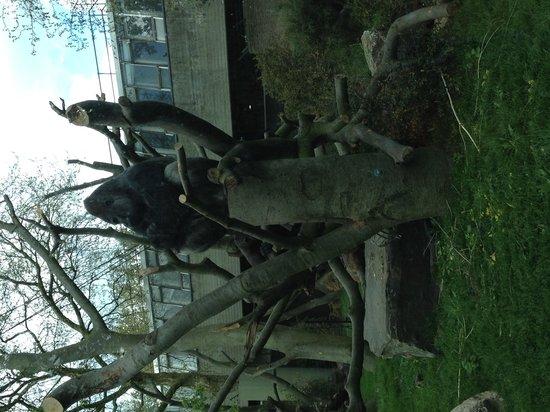 Artis Zoo: The Silverback Gorilla