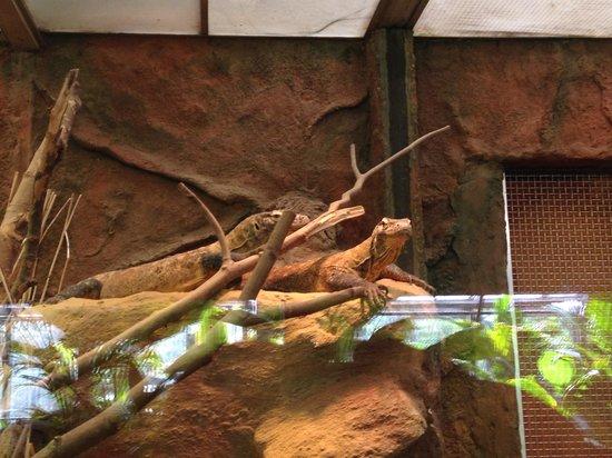 Artis Zoo: Comodo Varaan