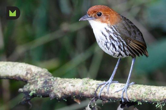 Paz de las Aves Bird Refuge: Chestnut-Crowned Antpitta