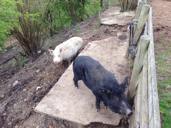 Millstone Country Inn: Pigs Accross the road at the back of the car park