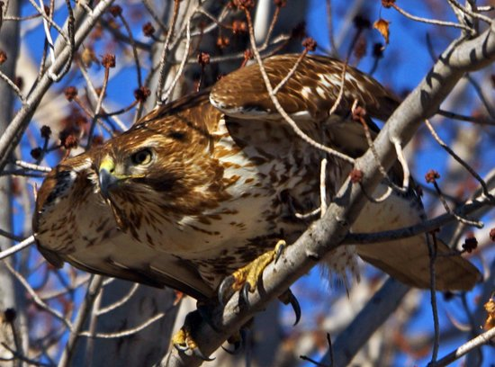 Cherry Creek State Park: Hawk