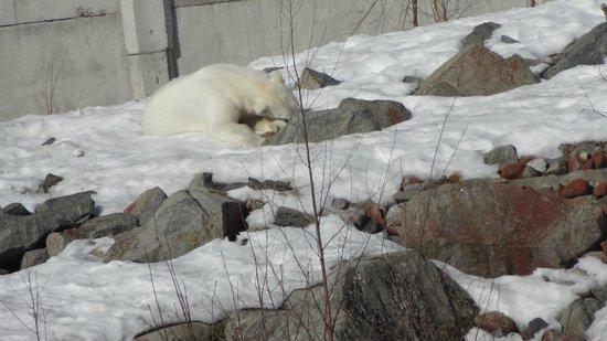 Ranua, Finnland: ours polaire