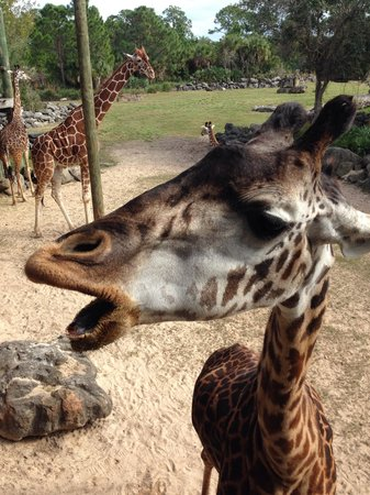 Brevard Zoo : You can feed the giraffes!
