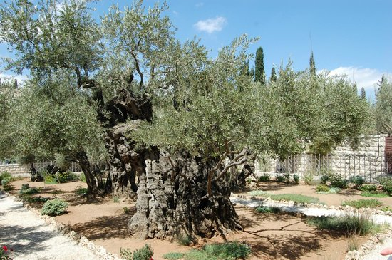Garden of Gethsemane: Гефсиманский сад
