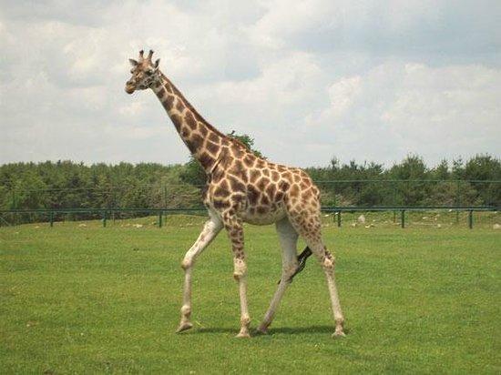 African Lion Safari: Very Tall!!!