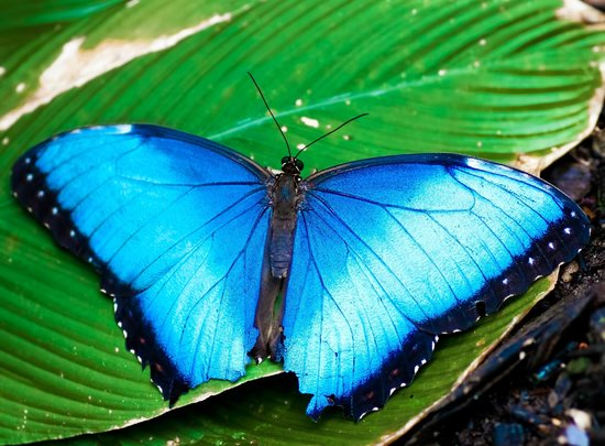 El Valle de Anton, Panama: Our signature butterfly-the blue Morpho