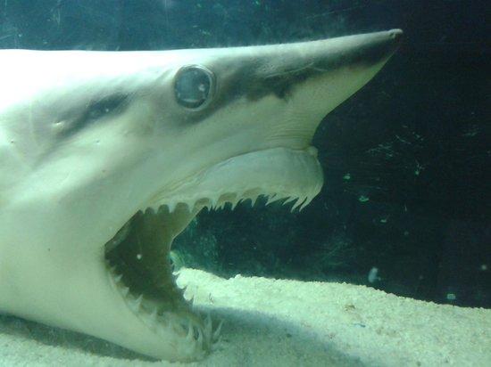 """Ubatuba Aquarium: Detalhe de um tubarão """"empalhado"""" (não sei o nome da técnica!)"""