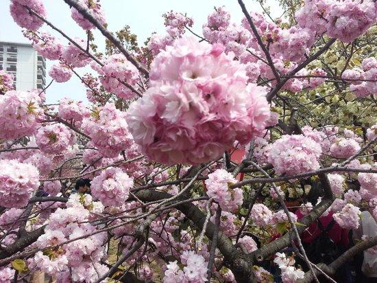 Japan Mint: sakura flower